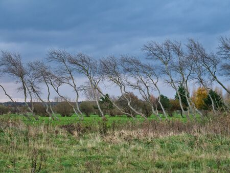 A row of wind blown trees on an overcast day in winter.
