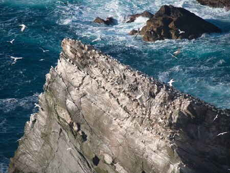 Gannets on sea cliffs at Hermaness on the north coast of the island of Unst in Shetland, Scotland, UK.