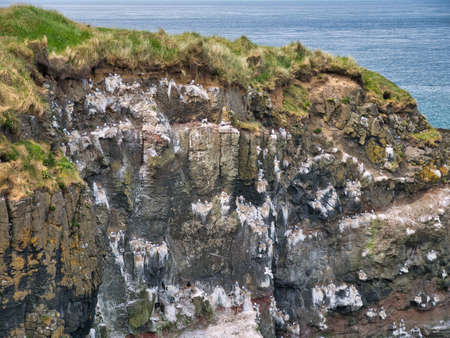 Sea birds nesting on white, guano stained rock perches on coastal cliffs. Taken on the Antrim Causeway Coast in summer on a clear day.