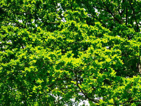 Healthy, bright green oak tree leaves in sunshine on a sunny day in summer.