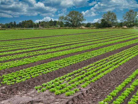 Commercial lettuce cultivation in arable farm fields in Lancashire, England, UK. Lettuce are grown in long, straight rows across the length of the field. Editorial