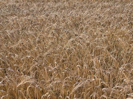 Rye ready to harvest in a field in Lancashire, England, UK. Taken in August.