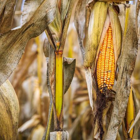 Very close shot of ripe corn cobs