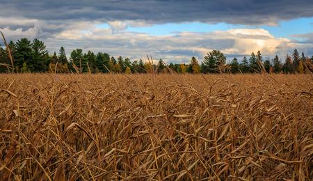 Corn Field at Sunset Stock fotó - 36360931