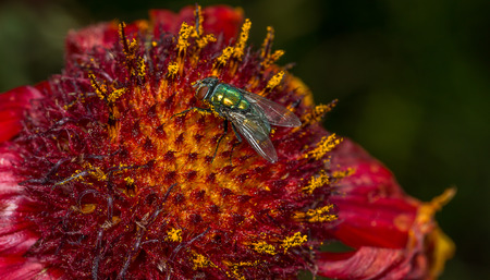 Fly gathering nectar on a beautiful red and yellow flower