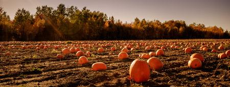 Pumpkins under a blazing sun during a hot autumn day
