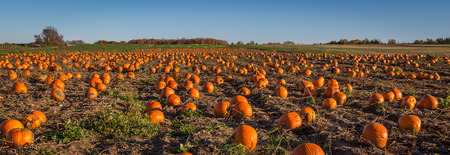A field full of pumpkin ready to be harvest