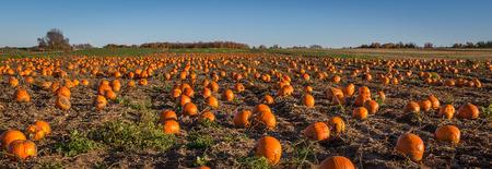 A field full of pumpkin ready to be harvest Stock fotó - 36360977