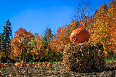 Field full of pumpkins ready to be harvest