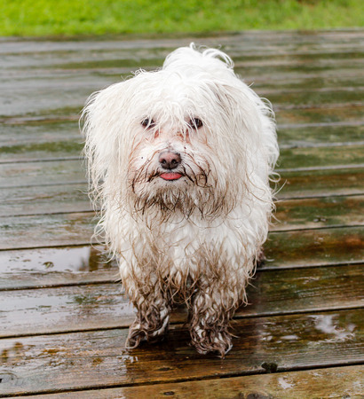 Maltese dog covered in mud waiting to get inside