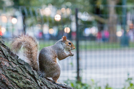 ny: Closeup view of a squirrel eating a nut in Central Park, NY