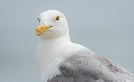 Upper body of a seagull with strange eyes