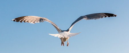 Seagull flying away in a clear blue sky