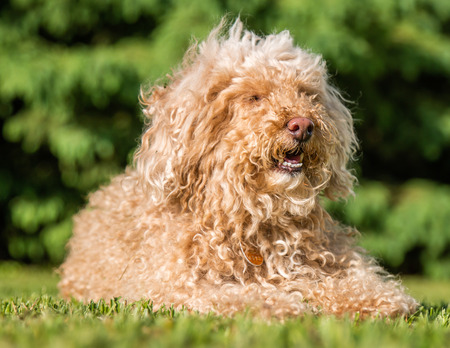 Brown poodle taking it easy in the sun Stock fotó