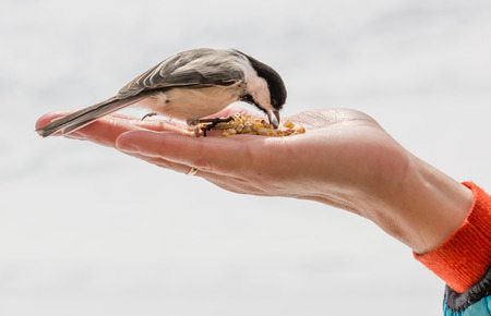 Bird eating out of a hand