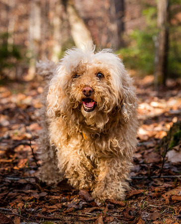 A brown poodle walking in the forest Stock fotó