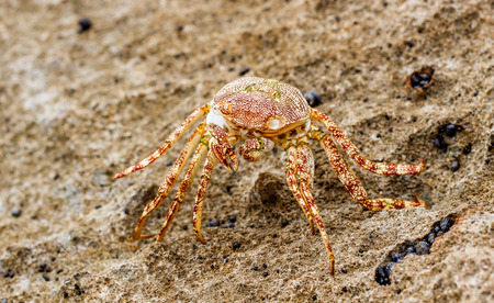 Closeup view of a red sea crab