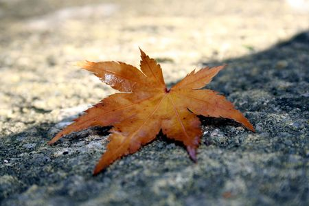 Japanese Acer Leaf on a path in the Autumn Sun photo