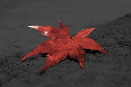 Japanese Acer Leaf on Dark Background photo