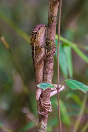 Wild lizard looking like a dragon Stock Photo