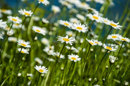Wild growing marguerite stretching towards sunlight in spring