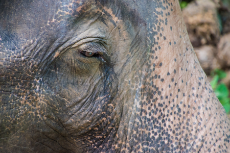 Portrait of old asian jungle elephant, thick skin 2