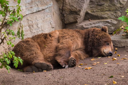 Sleeping grizzly bear brown fur tired fluffy