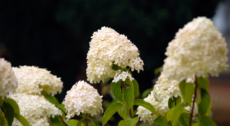 White summer hydrangea blossom flower fresh green black Imagens