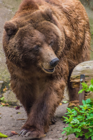 Grizzly bear brown fur walking through the woods