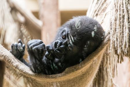 Black baby gorilla monkey lying in net Imagens