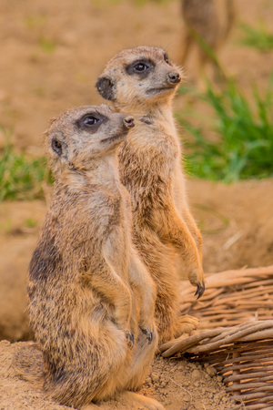 Two meerkats or suricats standing on sand