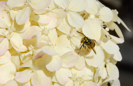 Wasp yellowjacket on white summer hydrangea blossom Imagens
