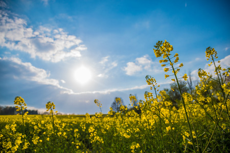 fop: Fop perspective of rape meadow yellow blossoms sunlight spring Stock Photo