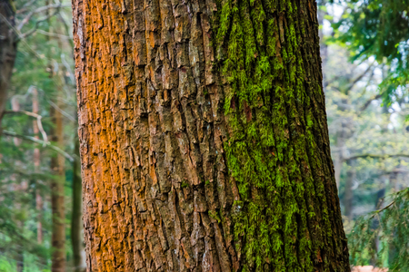 rusty background: Three colored tree stem of oak tree orange white green moss Stock Photo