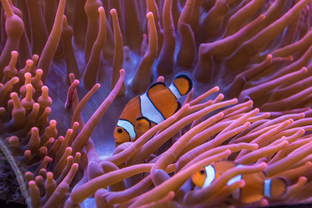 softcoral: Anemone clown fish orange and white stripes Stock Photo