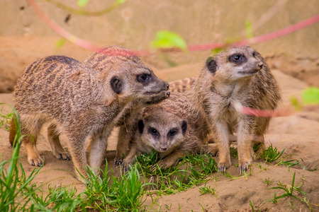 Three meerkats or suricats family on sand
