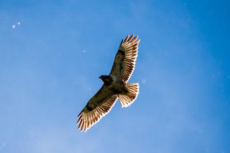 common blue: Eagle buzzard falcon flying sun shining through