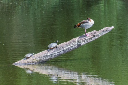 snapping turtle: Two turtles joining a goose on a branch in water Stock Photo
