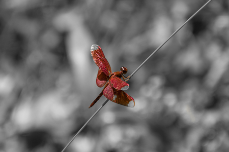 Red dragon fly on straw isolated on black and white background