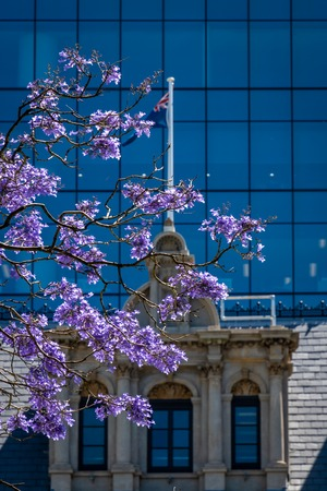 Blooming tree at St Geourges Terrace in Perth Western Australia in front of the Australian Flag