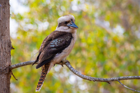 Kookaburra bird in West Australia sitting on tree branch 版權商用圖片