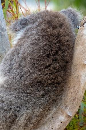 Fell des Koalabären auf dem Rücken in Westaustralien im Baum sitzend Standard-Bild