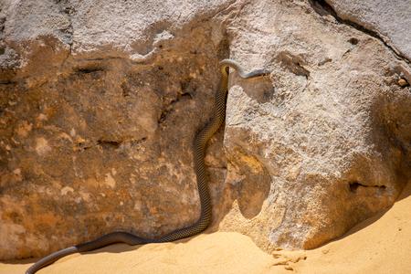 Snake at the pinnacles desert in Western Australia in the hot sun Stockfoto