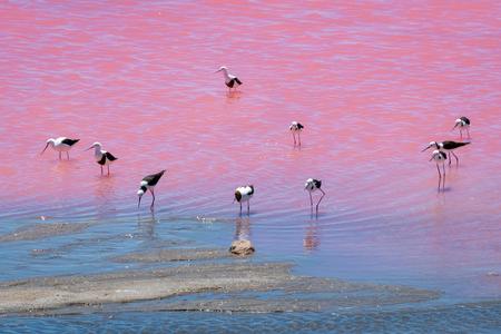 Black wing stilt birds at the Pink Lake in West Australia Stockfoto