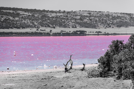 Beach with drift wood of the Pink Lake next to Gregory in Western Australia colored in black, white and pink