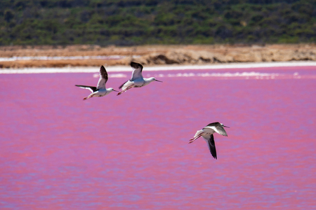 Black wing stilts birds at the Pink Lake in West Australia