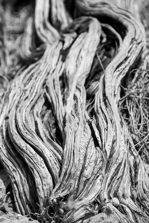 Nearly dead old dry tree stem in black and white at Yardie Creek Cape Range National Park Australia