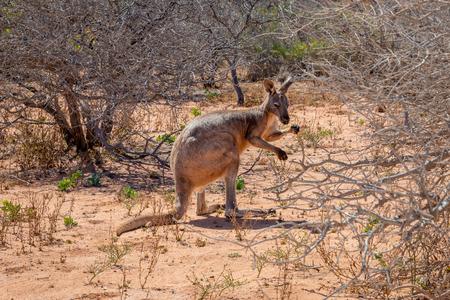 Wild kangaroo at Cape Range National Park in Australia