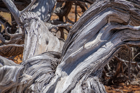 Old twisted tree stem at Yardie Creek at Cape Range National Park Australia
