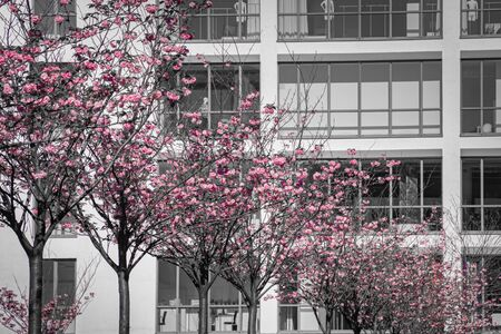 Pink cherry blossoms in front of modern facade front of a modern business office building